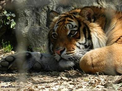 Colorare una tigre con le matite colorate disegno pittura for Immagini tigre da colorare